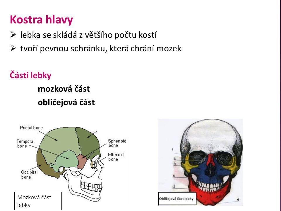 Mozková část lebky
