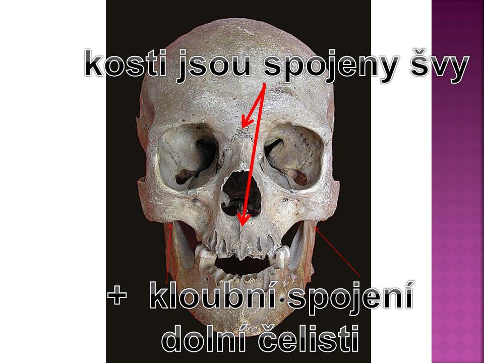 kosti jsou spojeny švy + kloubní spojení dolní čelisti