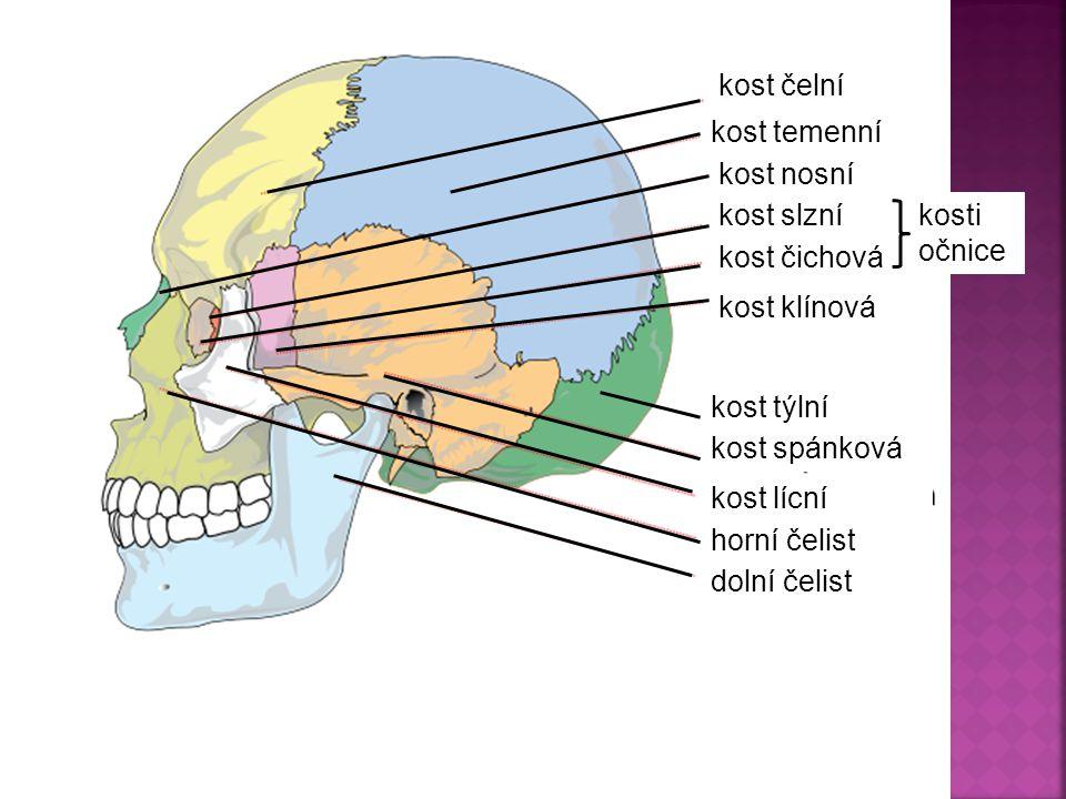 kost čelní kost temenní. kost nosní. kost slzní. kosti očnice. kost čichová. kost klínová. kost týlní.