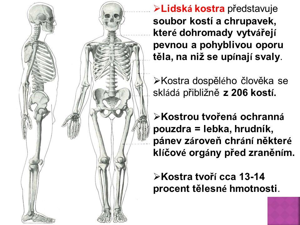 Lidská kostra představuje soubor kostí a chrupavek, které dohromady vytvářejí pevnou a pohyblivou oporu těla, na niž se upínají svaly.