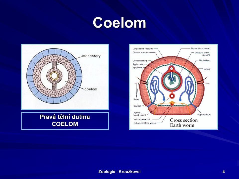 Coelom Pravá tělní dutina COELOM Zoologie - Kroužkovci