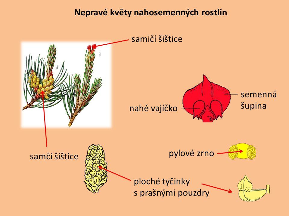 Nepravé květy nahosemenných rostlin