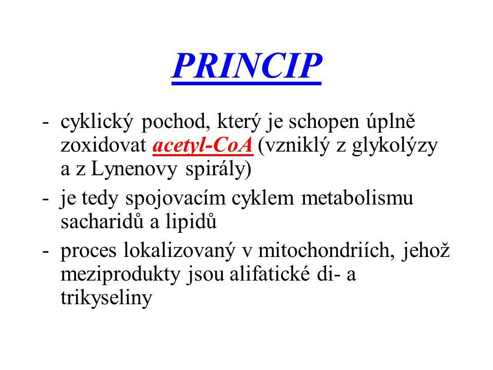 PRINCIP cyklický pochod, který je schopen úplně zoxidovat acetyl-CoA (vzniklý z glykolýzy a z Lynenovy spirály)