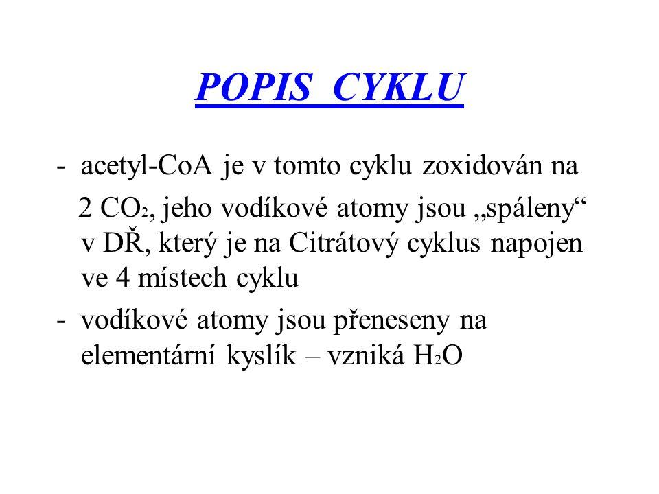 POPIS CYKLU acetyl-CoA je v tomto cyklu zoxidován na
