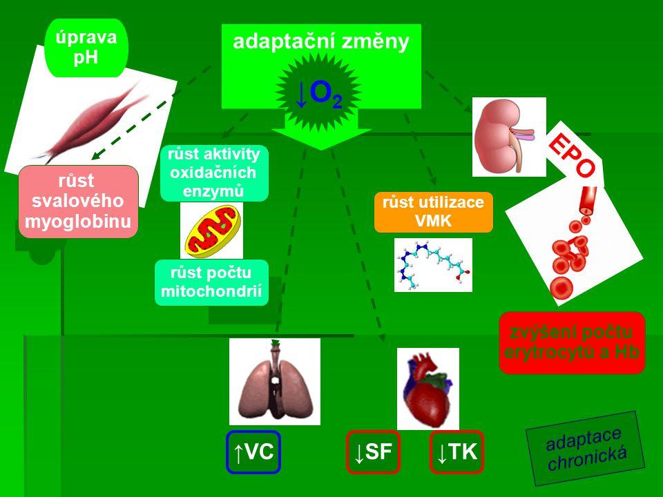 ↓O2 EPO adaptační změny ↑VC ↓SF ↓TK úprava pH růst svalového