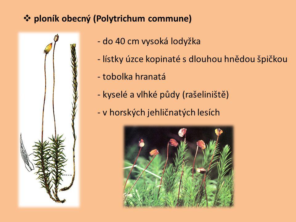 ploník obecný (Polytrichum commune)