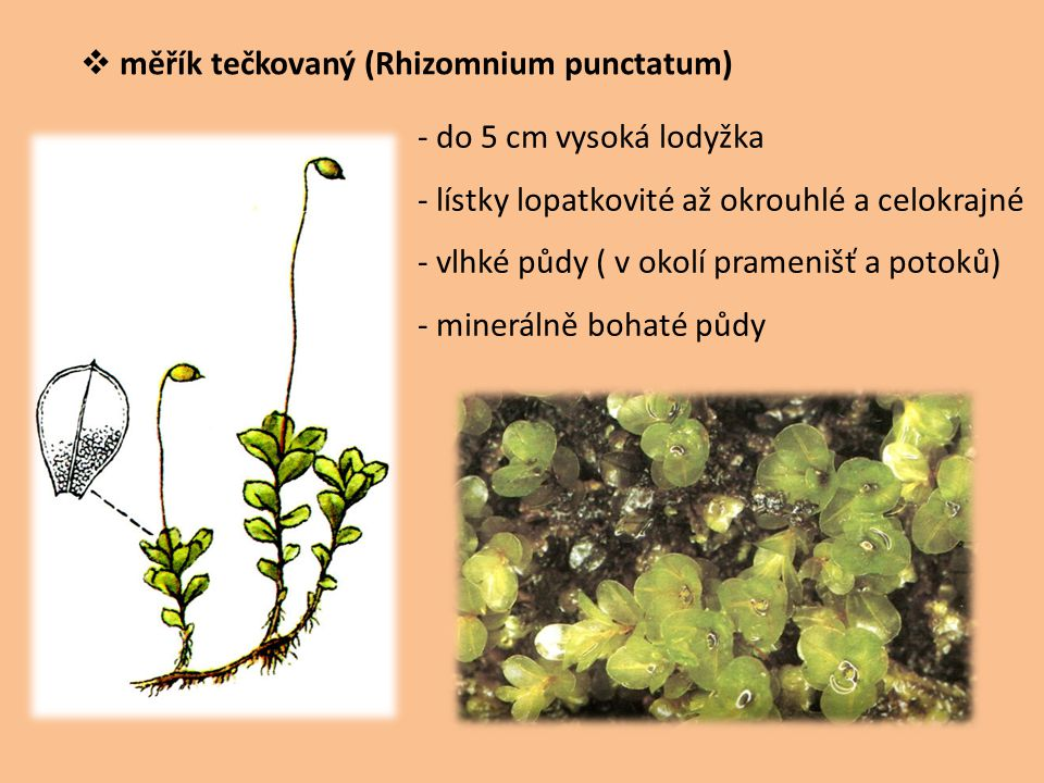 měřík tečkovaný (Rhizomnium punctatum)