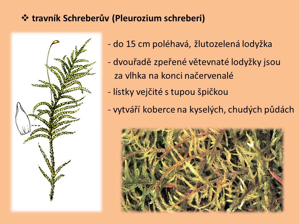 travník Schreberův (Pleurozium schreberi)