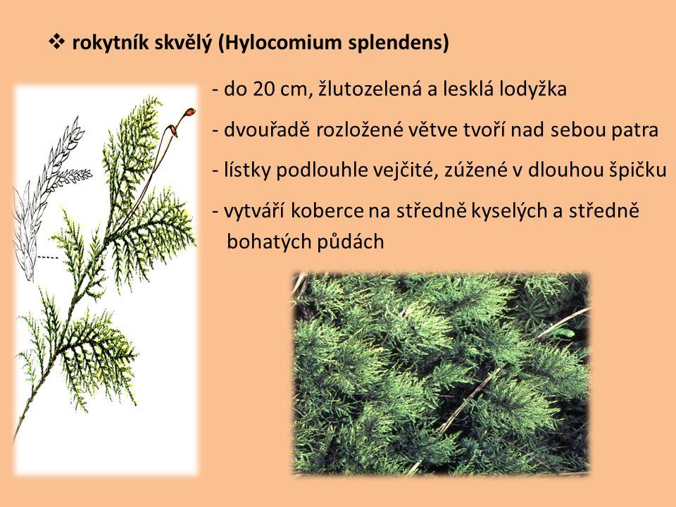 rokytník skvělý (Hylocomium splendens)