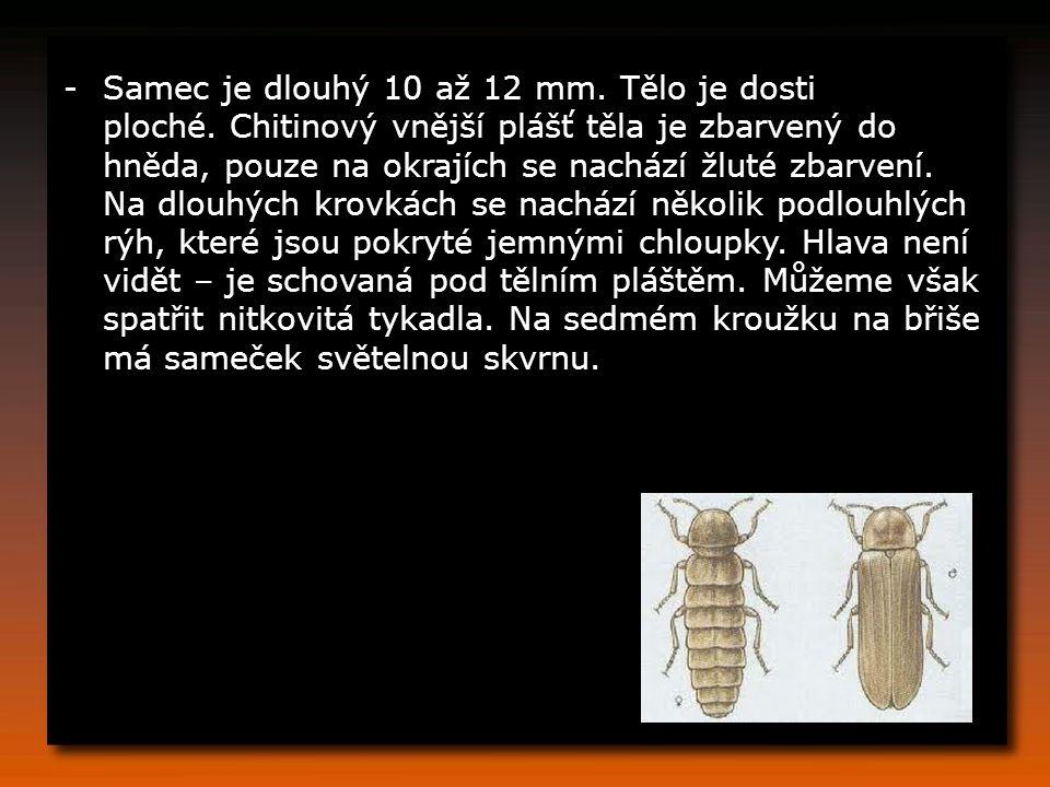 Samec je dlouhý 10 až 12 mm. Tělo je dosti ploché