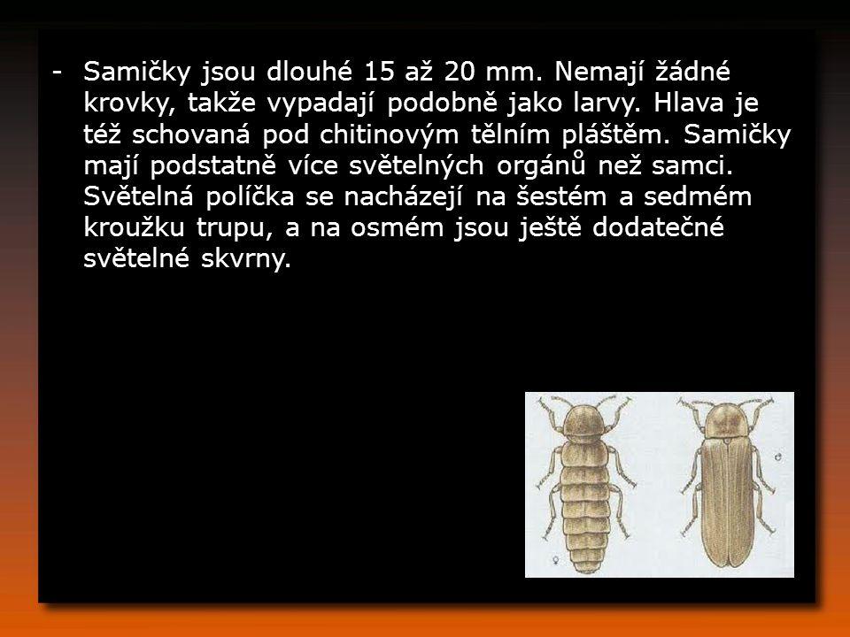 Samičky jsou dlouhé 15 až 20 mm