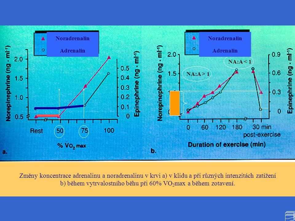 b) během vytrvalostního běhu při 60% VO2max a během zotavení.