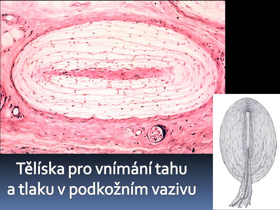 Tělíska pro vnímání tahu a tlaku v podkožním vazivu