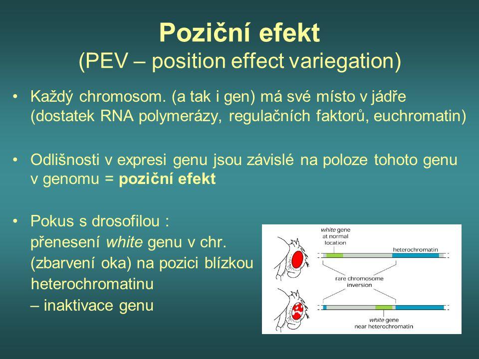 Poziční efekt (PEV – position effect variegation)