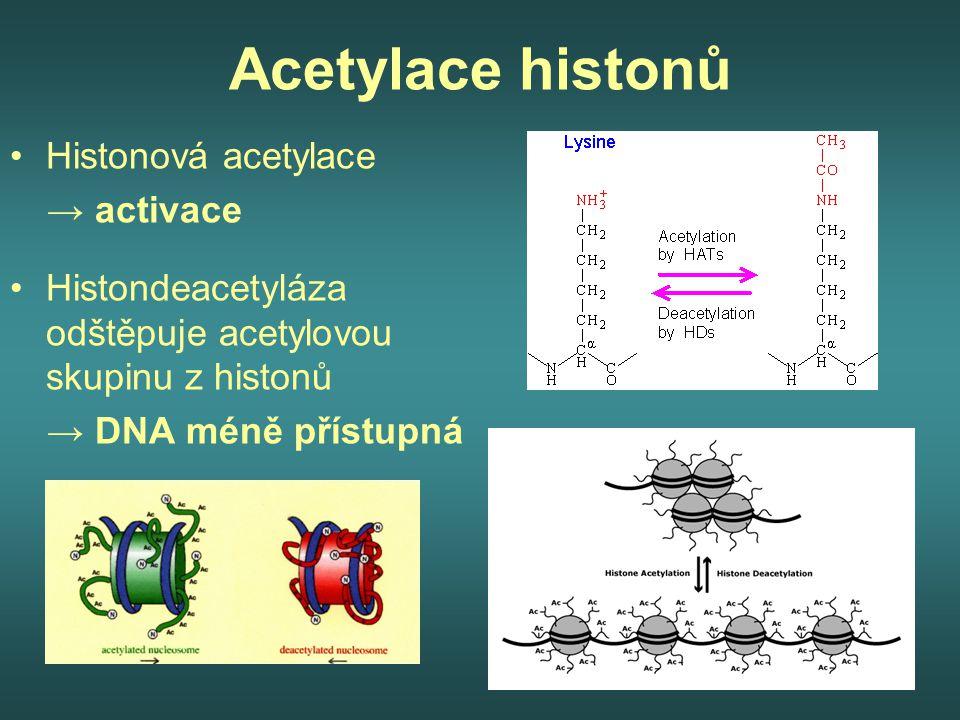Acetylace histonů Histonová acetylace → activace