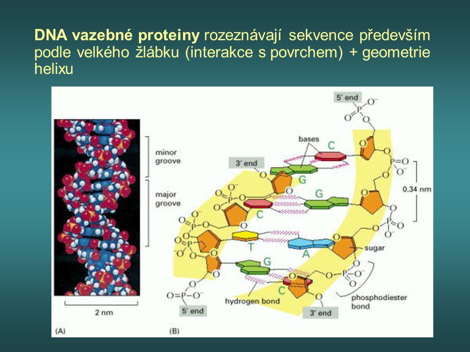 DNA vazebné proteiny rozeznávají sekvence především podle velkého žlábku (interakce s povrchem) + geometrie helixu