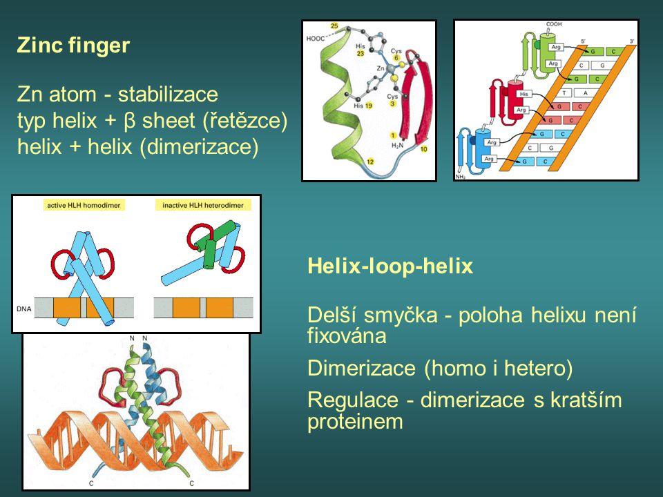 Zinc finger Zn atom - stabilizace typ helix + β sheet (řetězce) helix + helix (dimerizace)