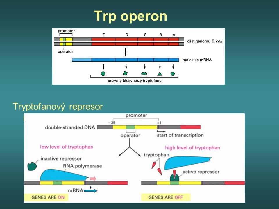 Trp operon Tryptofanový represor repressor