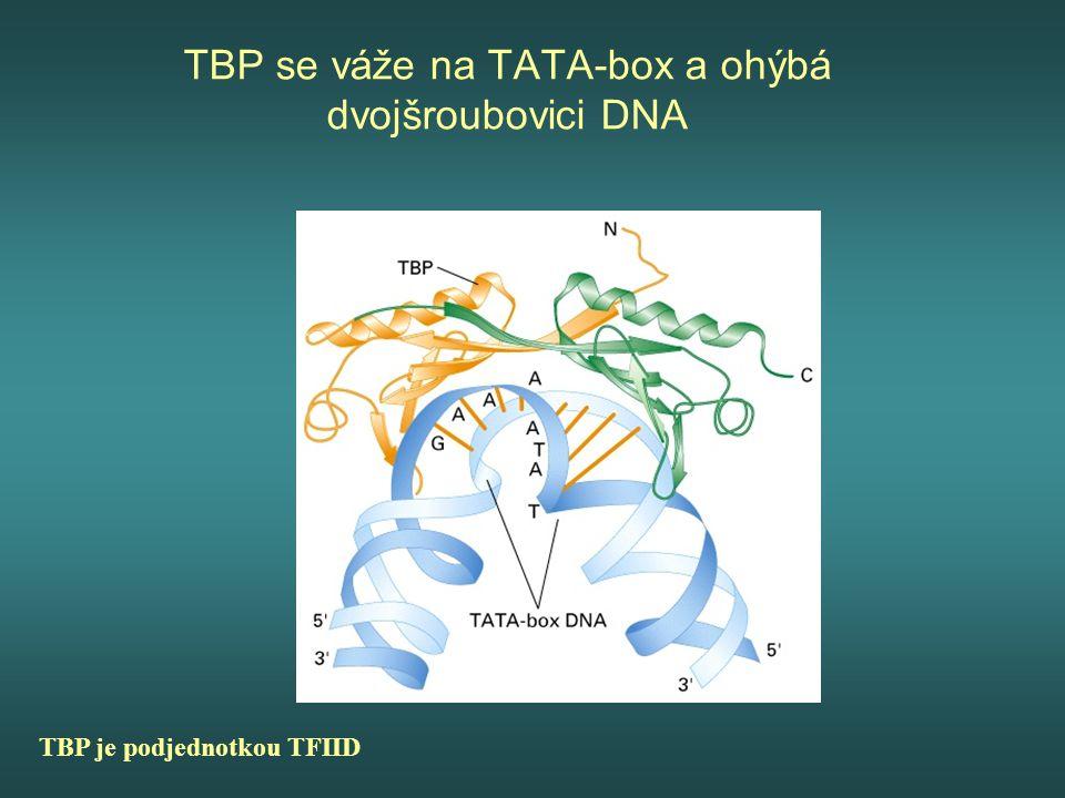 TBP se váže na TATA-box a ohýbá dvojšroubovici DNA