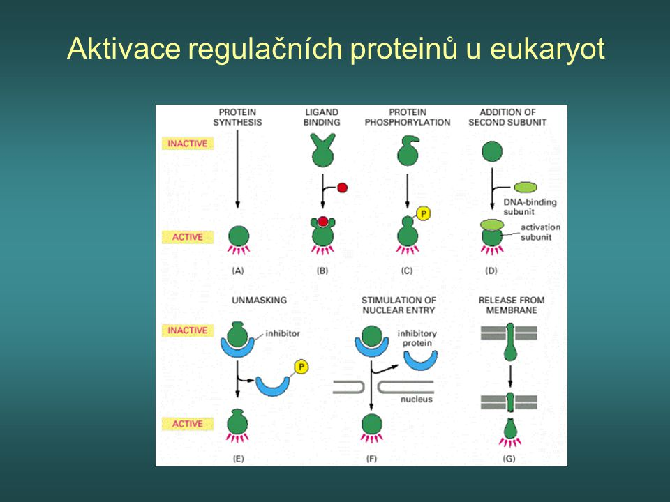 Aktivace regulačních proteinů u eukaryot