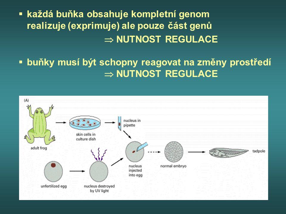 každá buňka obsahuje kompletní genom