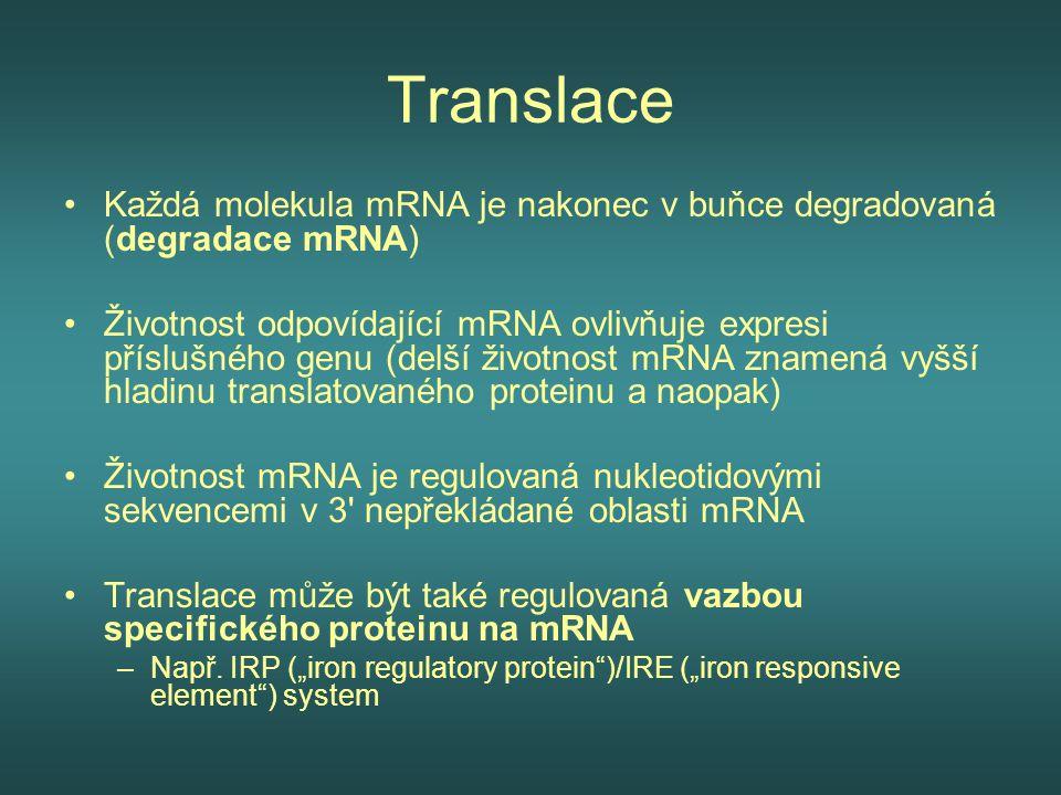 Translace Každá molekula mRNA je nakonec v buňce degradovaná (degradace mRNA)