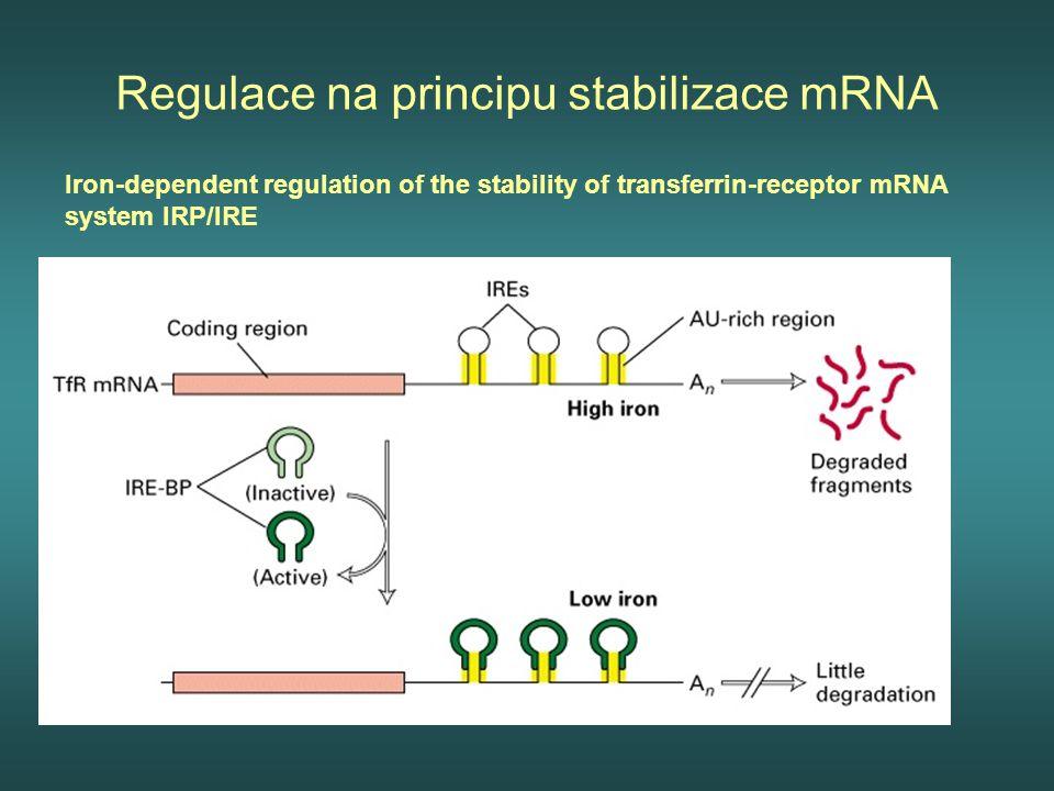 Regulace na principu stabilizace mRNA