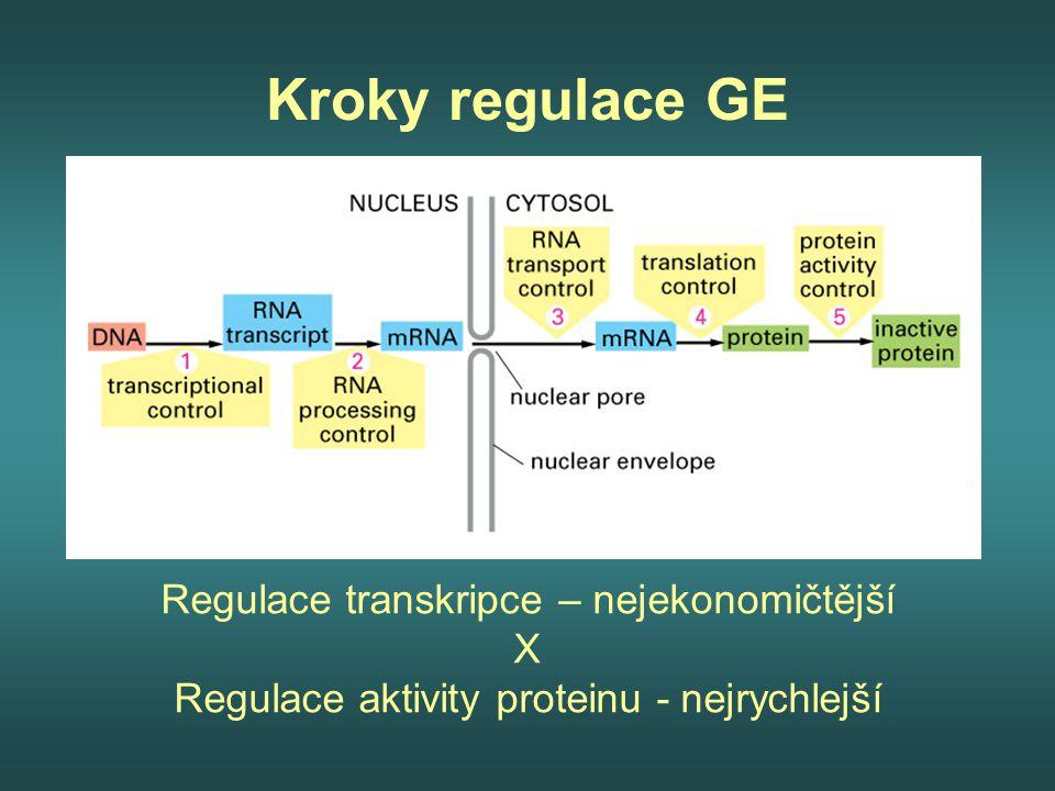 Kroky regulace GE Regulace transkripce – nejekonomičtější X
