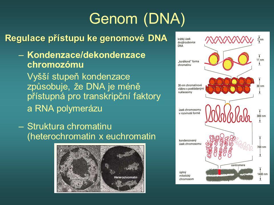 Genom (DNA) Regulace přístupu ke genomové DNA