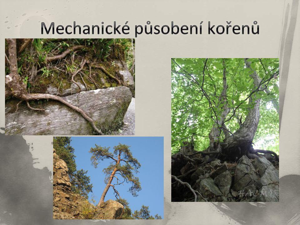 Mechanické působení kořenů