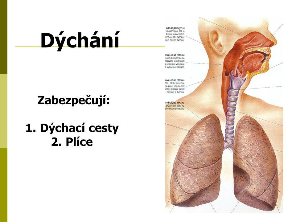 Dýchání Zabezpečují: Dýchací cesty Plíce