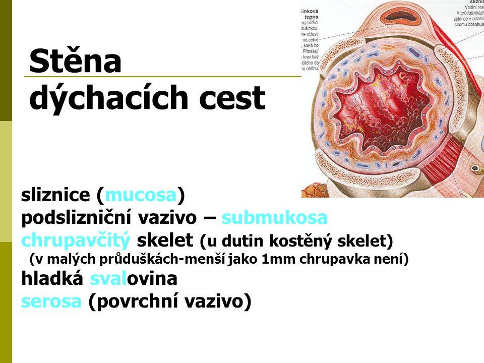 Stěna dýchacích cest sliznice (mucosa) podslizniční vazivo – submukosa
