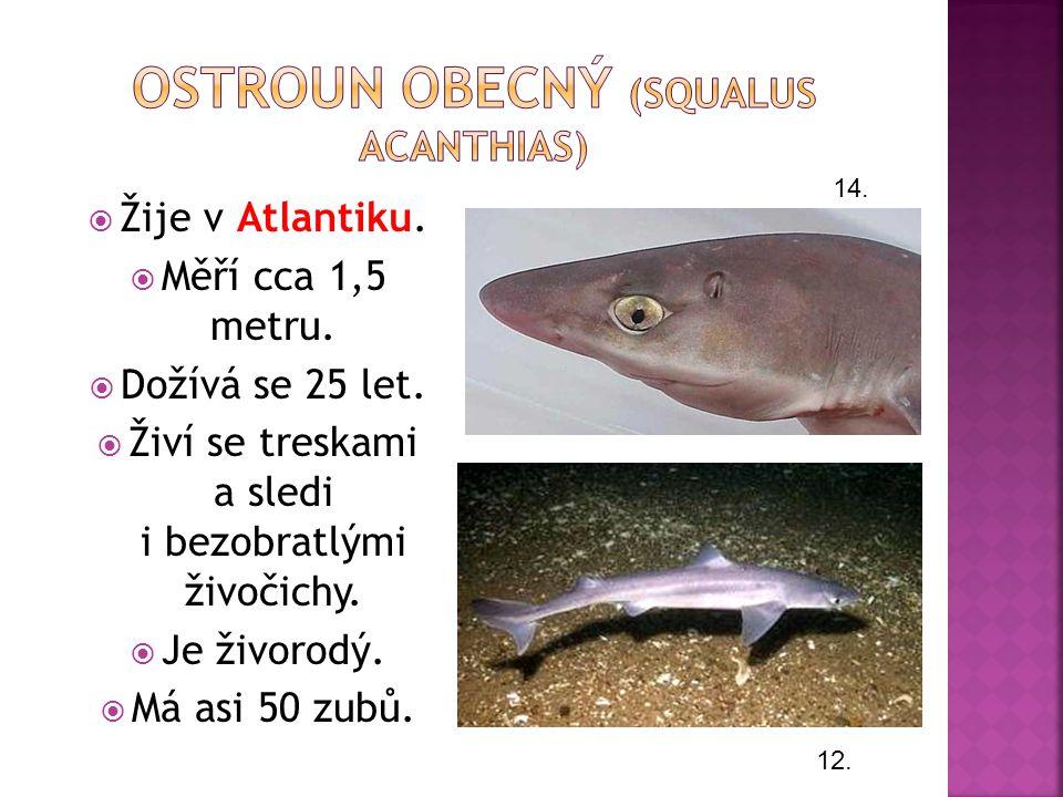 Ostroun obecný (Squalus acanthias)