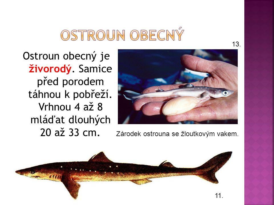 Ostroun obecný 13. Ostroun obecný je živorodý. Samice před porodem táhnou k pobřeží. Vrhnou 4 až 8 mláďat dlouhých 20 až 33 cm.