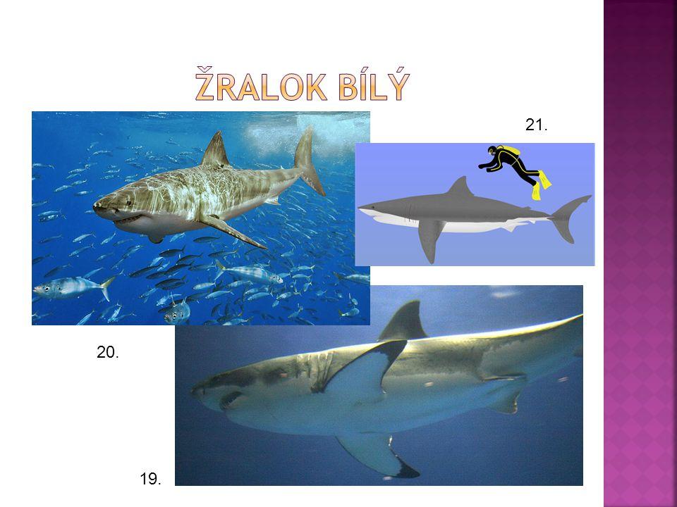 Žralok bílý 21. 20. 19.
