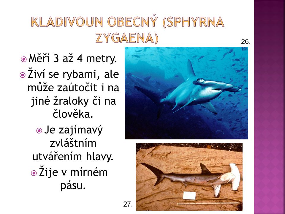 Kladivoun obecný (Sphyrna zygaena)