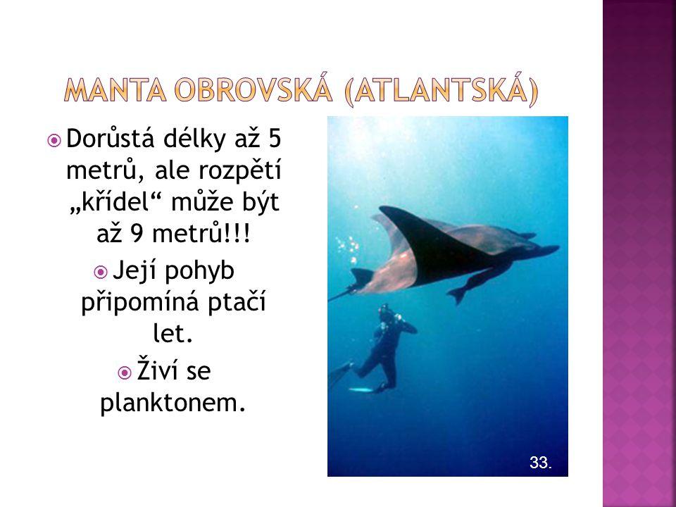 Manta obrovská (ATLANTSKÁ)