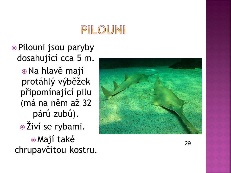pilouni Pilouni jsou paryby dosahující cca 5 m.