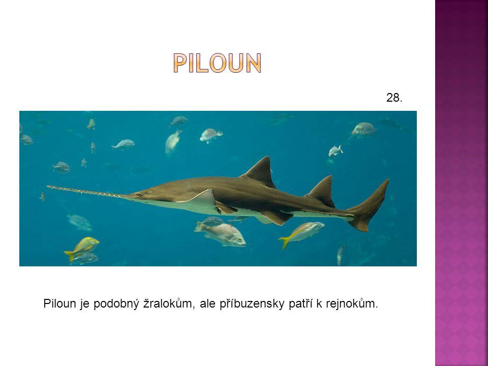piloun 28. Piloun je podobný žralokům, ale příbuzensky patří k rejnokům.