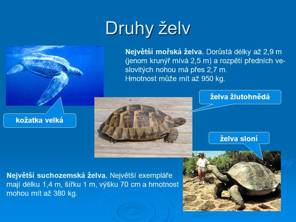 Druhy želv Největší mořská želva. Dorůstá délky až 2,9 m