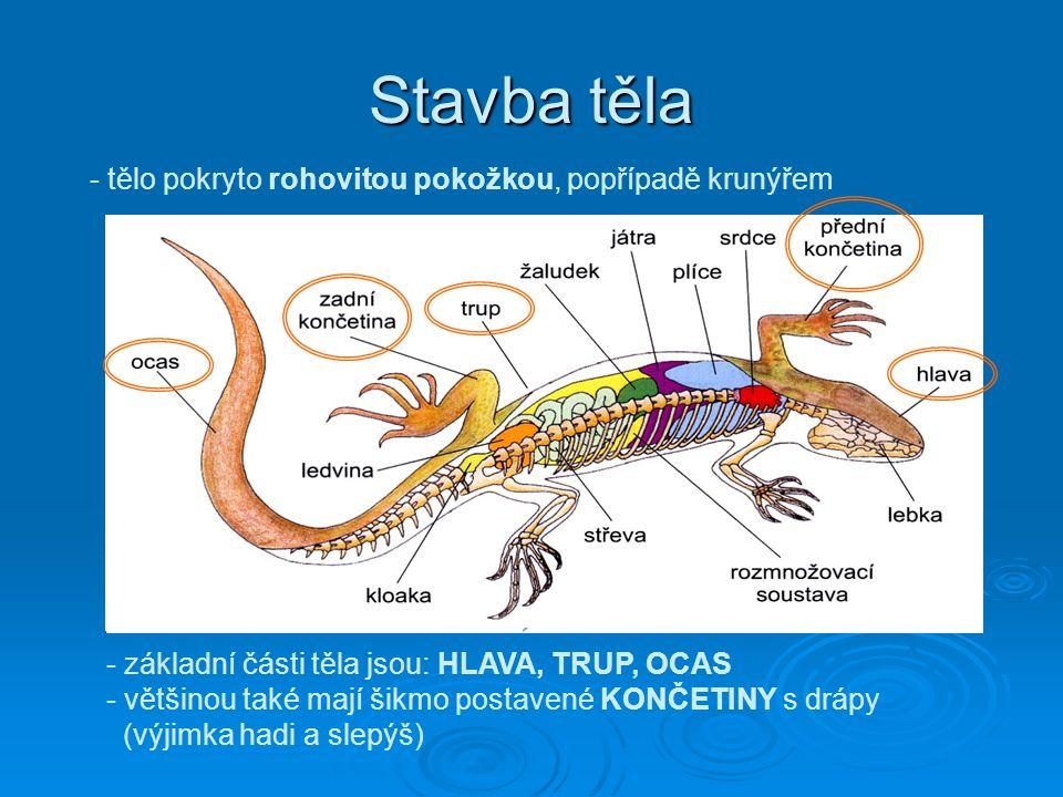 Stavba těla - tělo pokryto rohovitou pokožkou, popřípadě krunýřem