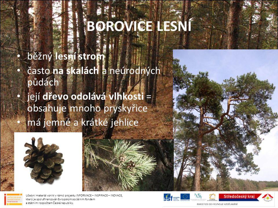 BOROVICE LESNÍ běžný lesní strom často na skalách a neúrodných půdách
