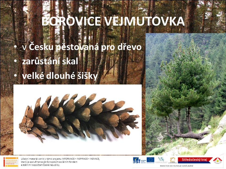 BOROVICE VEJMUTOVKA v Česku pěstovaná pro dřevo zarůstání skal