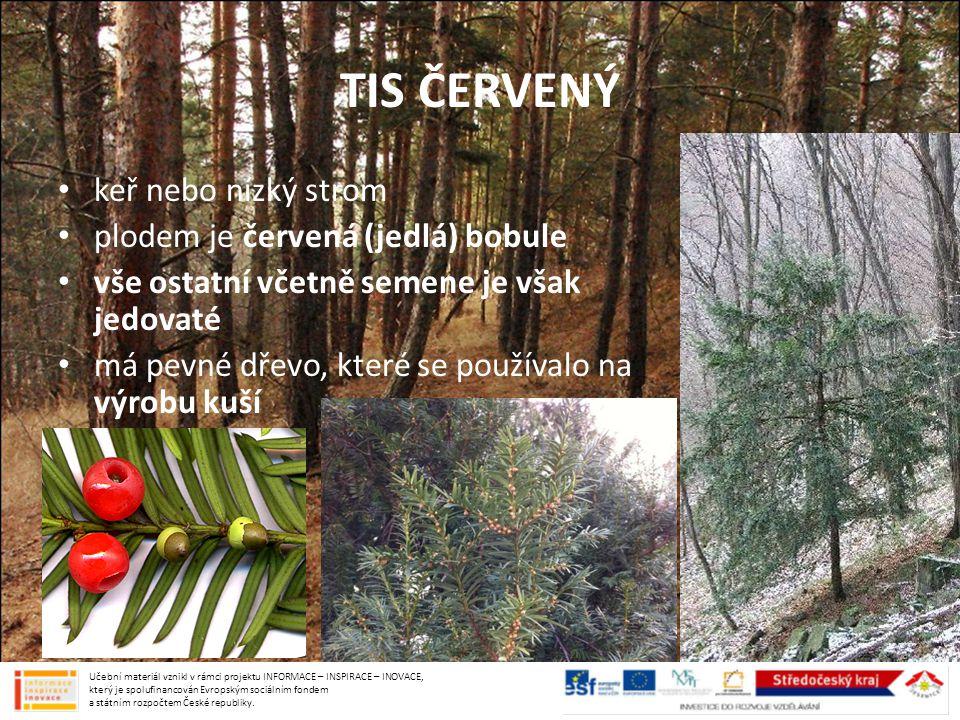 TIS ČERVENÝ keř nebo nízký strom plodem je červená (jedlá) bobule