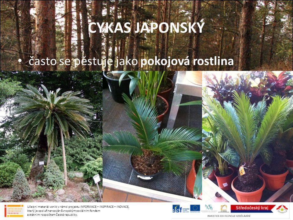 CYKAS JAPONSKÝ často se pěstuje jako pokojová rostlina