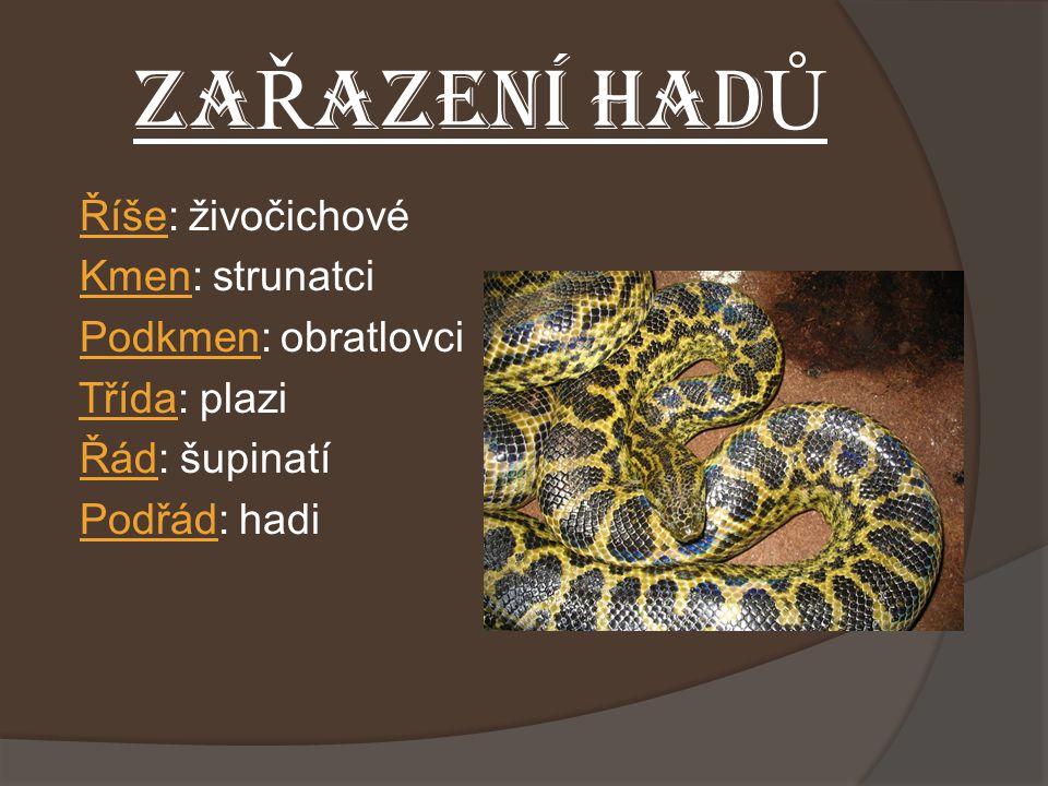 ZAŘAZENÍ HADŮ Říše: živočichové Kmen: strunatci Podkmen: obratlovci Třída: plazi Řád: šupinatí Podřád: hadi