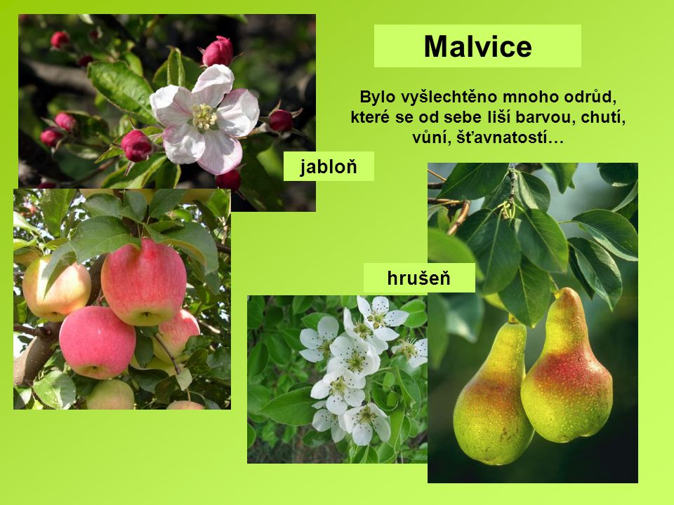 Malvice Bylo vyšlechtěno mnoho odrůd, které se od sebe liší barvou, chutí, vůní, šťavnatostí… jabloň.