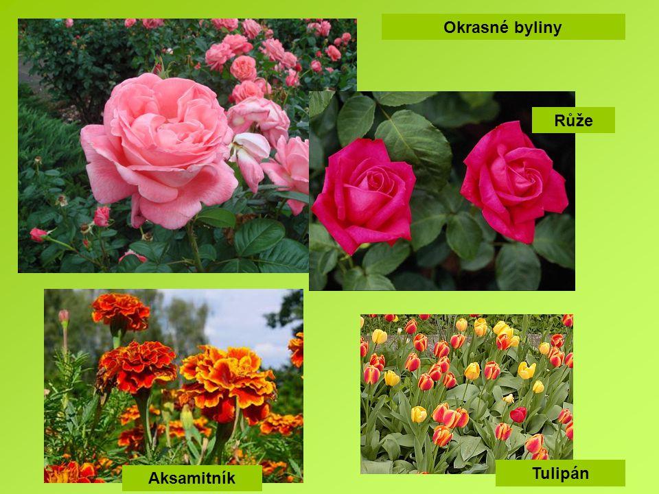 Okrasné byliny Růže Tulipán Aksamitník