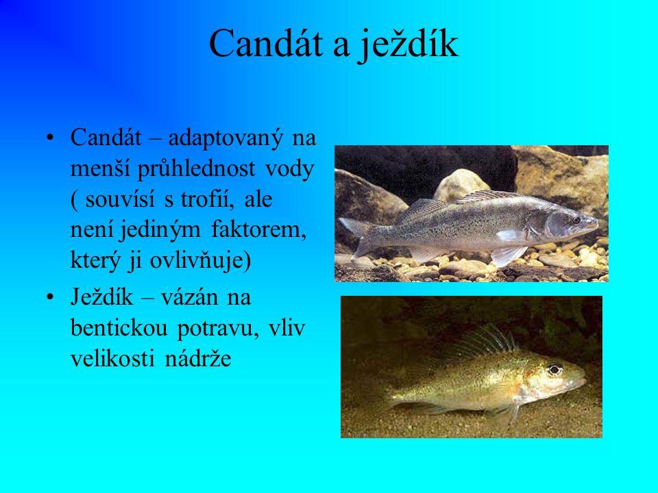 Candát a ježdík Candát – adaptovaný na menší průhlednost vody ( souvísí s trofií, ale není jediným faktorem, který ji ovlivňuje)