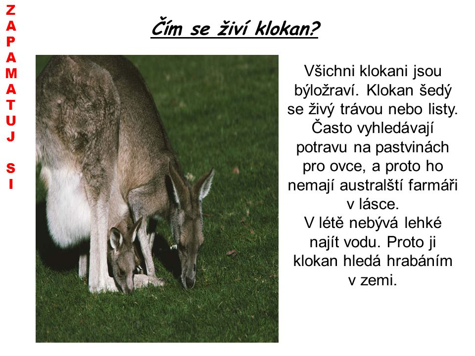 Z A. P. M. T. U. J. S. I. Čím se živí klokan Všichni klokani jsou býložraví. Klokan šedý se živý trávou nebo listy.